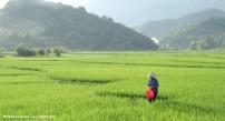 Rijstvelden in Mai Chau